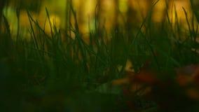 Foglia gialla di autunno su erba verde Una foglia caduta sull'erba stock footage