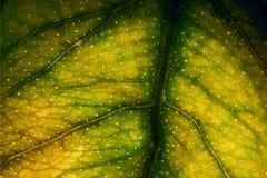Foglia gialla e le sue vene nei precedenti leggeri Immagini Stock Libere da Diritti