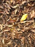 Foglia gialla fra le foglie marroni Fotografia Stock