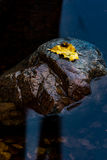 Foglia gialla su roccia Fotografia Stock Libera da Diritti