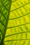 Foglia gigante backlit verde Fotografia Stock
