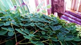 Foglia grean della moringa oleifera di Malunggay Fotografia Stock