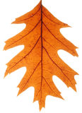 Foglia II della quercia , Fondo bianco Immagine Stock Libera da Diritti