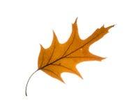 Foglia isolata della quercia di autunno Immagini Stock