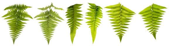 Foglia isolata su fondo bianco con il percorso di ritaglio Le foglie usano per la spazzola e più decorativo immagini stock libere da diritti