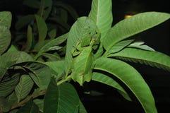 Foglia Katydid che appende nelle foglie fotografie stock libere da diritti