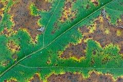 Foglia lentamente Withers in autunno Immagine Stock