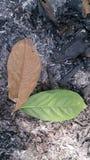 Foglia marrone verde Immagini Stock
