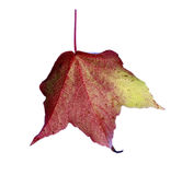 Foglia marrone verde rossa di caduta in studio fotografie stock