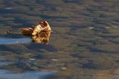 Foglia morta che galleggia sull'acqua Fotografia Stock