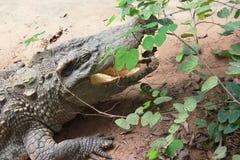Foglia nascosta feroce del coccodrillo Fotografie Stock