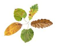 Foglia naturale di autunno di agricoltura cinque isolata su fondo bianco Fotografie Stock