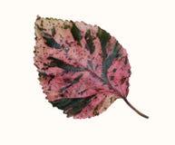 Foglia naturale di colore rosso isolata su fondo bianco Fotografia Stock