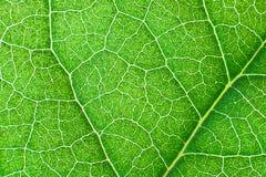 Foglia nerved verde con il modello astratto Fondo astratto per botanica, biologia ed ecologia Orizzontale con lo spazio della cop fotografie stock libere da diritti