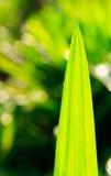 Foglia pandan verde sul fondo della sfuocatura fotografia stock