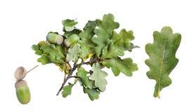 Foglia, ramo e ghianda della quercia Immagini Stock