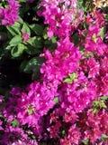 Foglia rosa Fotografie Stock Libere da Diritti