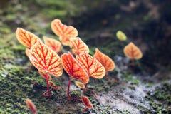 Foglia rosa della begonia nella macro Immagini Stock Libere da Diritti