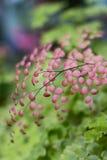Foglia rosa della felce Fotografia Stock