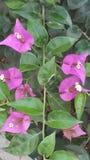 Foglia rosa e verde rosa Immagini Stock