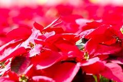 Foglia rossa Fotografia Stock Libera da Diritti