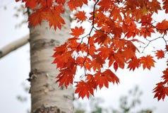 Foglia rossa Fotografia Stock