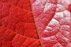Foglia rossa Immagini Stock