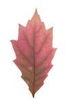 Foglia rossa come simbolo di autunno Fotografie Stock Libere da Diritti