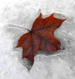 Foglia rossa congelata in ghiaccio Immagini Stock Libere da Diritti