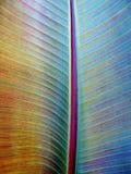 Foglia rossa del banano Fotografia Stock