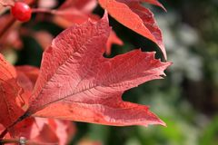 Foglia rossa del viburno in autunno Macro immagini stock libere da diritti