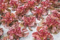 Foglia rossa della lattuga nel campo, fresco di verdure in azienda agricola, insalata Fotografie Stock Libere da Diritti