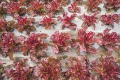 Foglia rossa della lattuga nel campo, fresco di verdure in azienda agricola, insalata Fotografia Stock Libera da Diritti