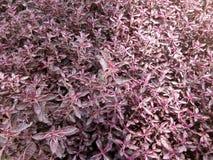 Foglia rossa della pianta immagine stock libera da diritti
