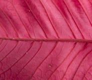 Foglia rossa della stella di Natale - lato posteriore Fotografia Stock Libera da Diritti