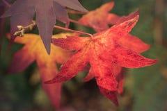 Foglia rossa di autunno, Norfolk, Inghilterra, Regno Unito fotografia stock