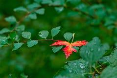 Foglia rossa di autunno su un fondo delle foglie verdi con le gocce di pioggia Immagine Stock Libera da Diritti