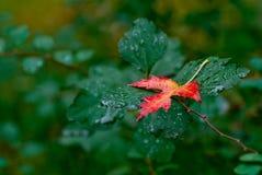 Foglia rossa di autunno su un fondo verde Fotografia Stock
