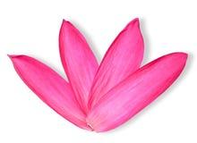 Foglia rossa di Lotus isolata sul percorso di ritaglio bianco fotografia stock