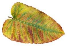 Foglia rossa gialla di autunno dell'angelica europea della pianta isolata Fotografia Stock Libera da Diritti