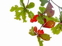 Foglia rossa imperfetta e permesso verde Suo ammaccato dal morso del verme su fondo bianco immagini stock
