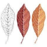 Foglia rossa isolata di autunno Illustrazione di vettore per la vostra acqua dolce di design Fotografia Stock