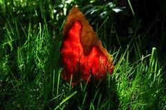 Foglia rossa luminosa dell'agrifoglio in un'erba verde succosa Fotografie Stock Libere da Diritti