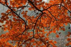 Foglia rossa nella caduta Fotografia Stock