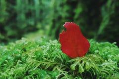 Foglia rossa su muschio Fotografie Stock