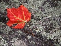 Foglia rossa su roccia Fotografie Stock Libere da Diritti