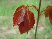 Foglia rossa su un fondo verde Fotografia Stock