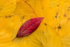 Foglia rossa sulle foglie gialle Immagine Stock Libera da Diritti