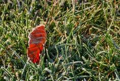 Foglia rossastra su terra in erba verde glassata Fotografia Stock