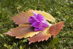 foglia Rosso-gialla dell'uva e del croco di autunno sull'erba verde Immagini Stock
